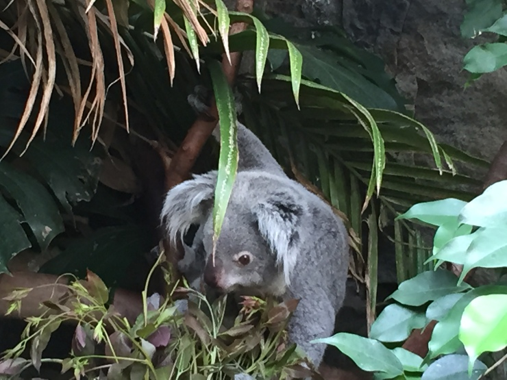 Edinburgh Zoo Koala July 2015