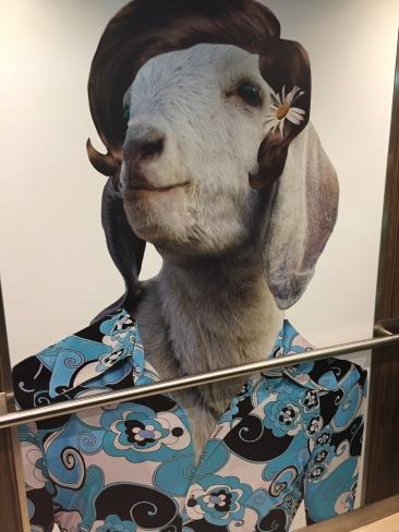 Anthem of the Seas lift goat