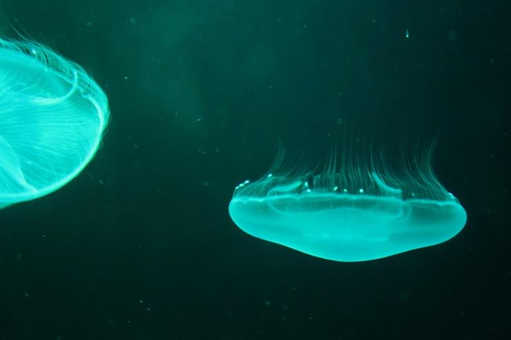 La Coruna - April 2017 - jelly fish