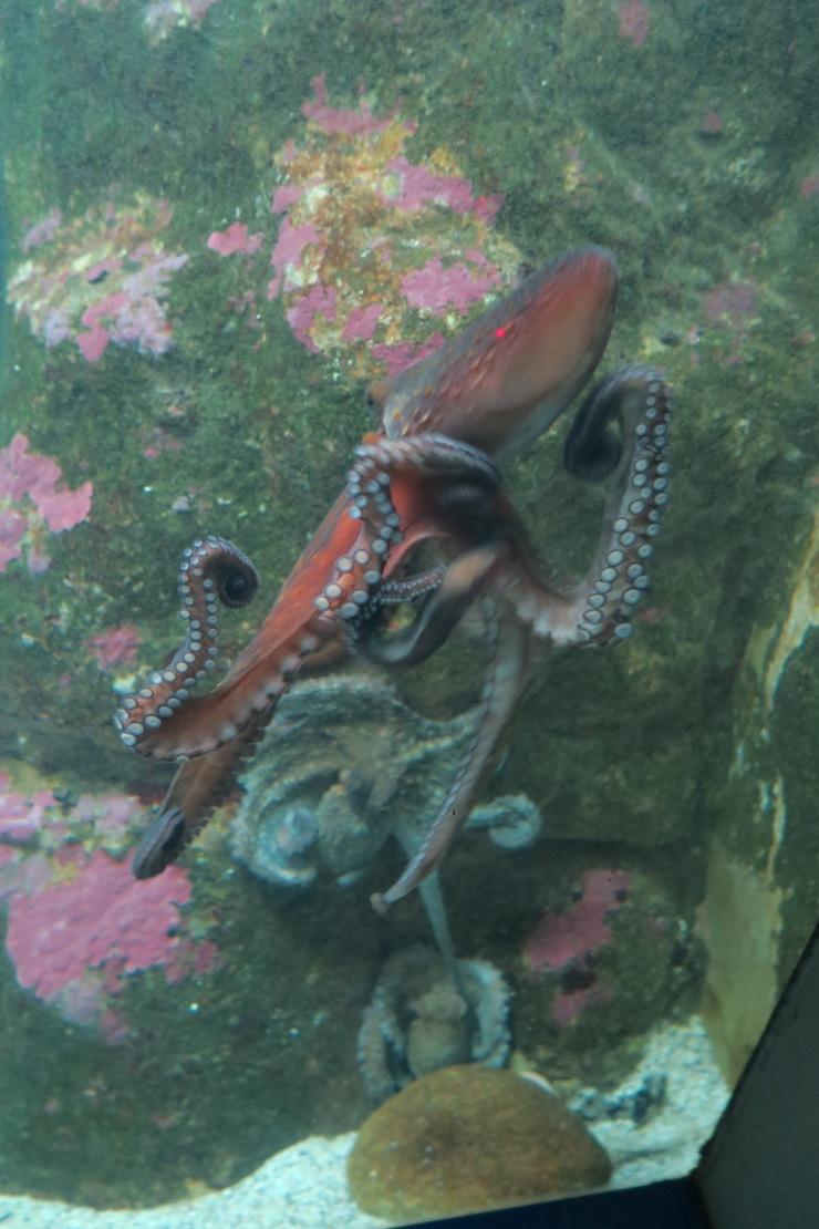 La Coruna - April 2017 - octopus
