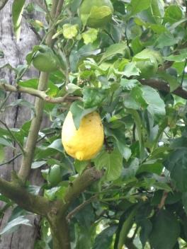 Oasis of the Seas Lemon tree