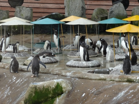 Edinburgh Zoo penguins July 2015