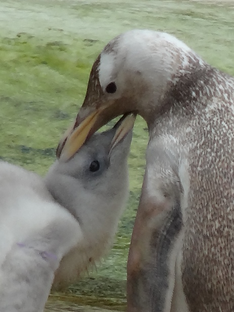 Britannia 6 July 2015 Edinburgh zoo penguins