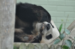 Britannia 6 July 2015 Edinburgh zoo panda