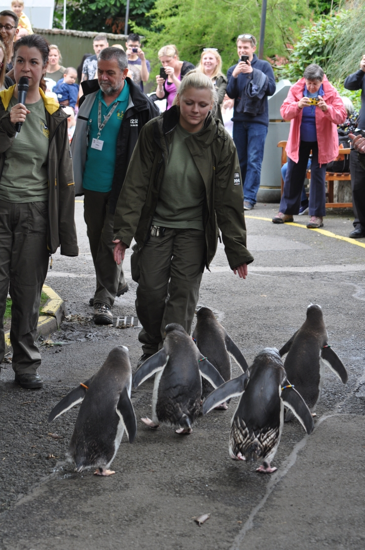 Edinburgh Zoo penguin walk July 2015