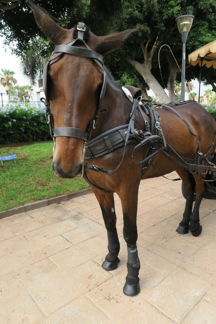 Las Palmas - September 2016 - horse