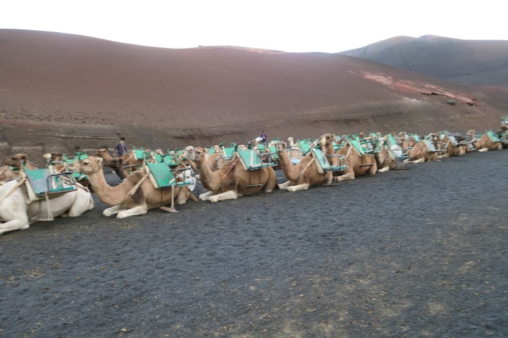 Lanzarote - September 2016 - camels
