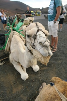 Independence of the Seas 9 September 2016 Lanzarote camels